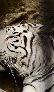 Sleeping white tiger at the zoo | Fort worth zoo, Zoo, Animals