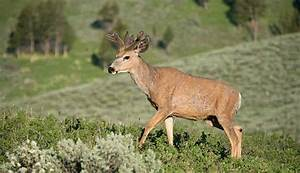 Mule Deer In The Grand Canyon