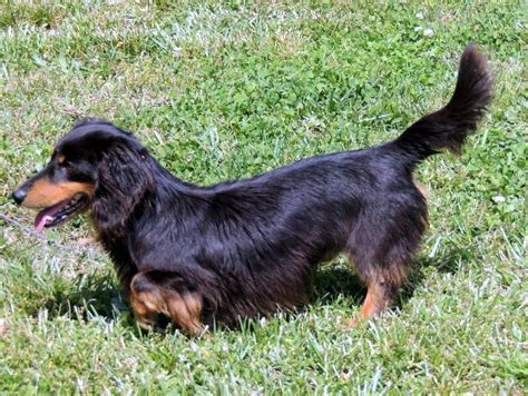 Haired Datsun by The Happy Woofer Dachshund Delaware Breeder