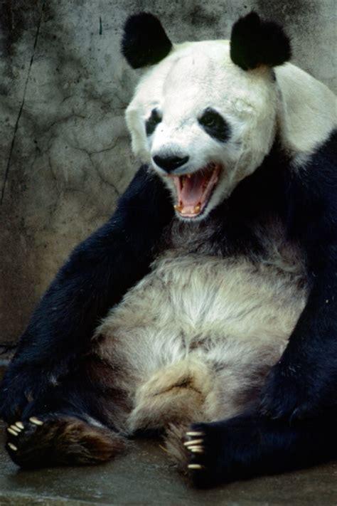 panda iphone wallpaper wallpapersafari