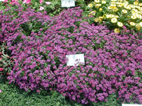 what is annual plant ageratum artist purple annual flower research at bluegrass lane