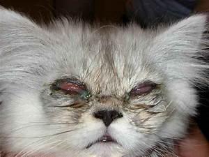 Гипертония у кошек лечение