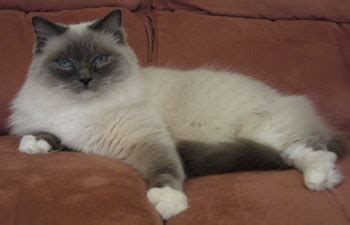 do ragdoll cats shed is the ragdoll cat right for you