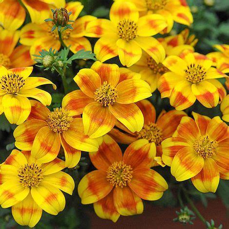 bidens beedance painted yellow van meuwen