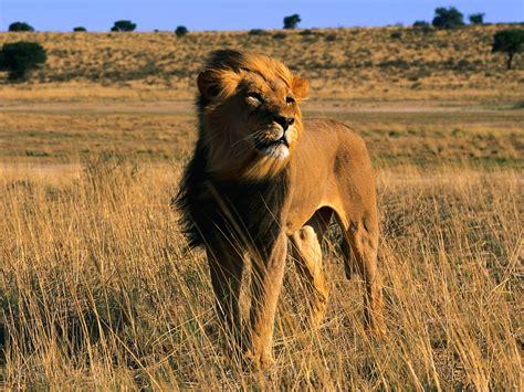 Wild Cats The Lion Kimcampioncom