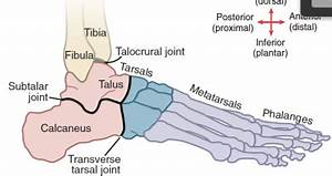 Ankle at Northern Arizona University - StudyBlue