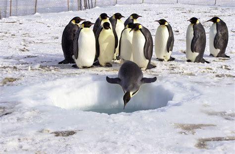 How Long Do Emperor Penguins Live