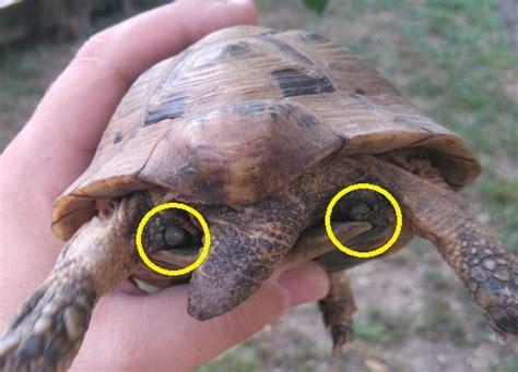 tortue de terre testudo graeca