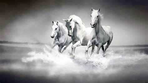 beautiful white horses hd desktop wallpaper