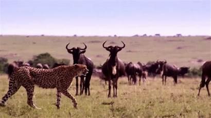 Animals Animated Animal Gifs Wild Africa Animais
