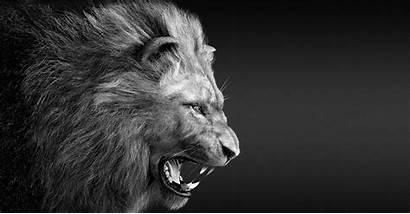 Roar Lion 3d Lions Area Autodesk Amos