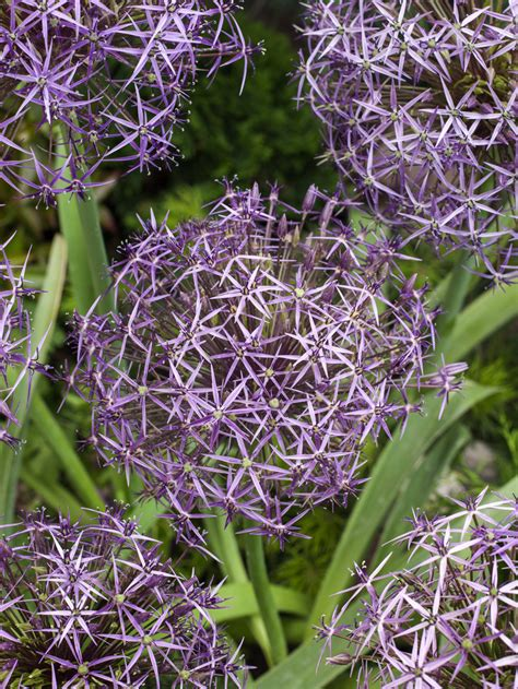 allium bulbs for sale allium christophii gold medal