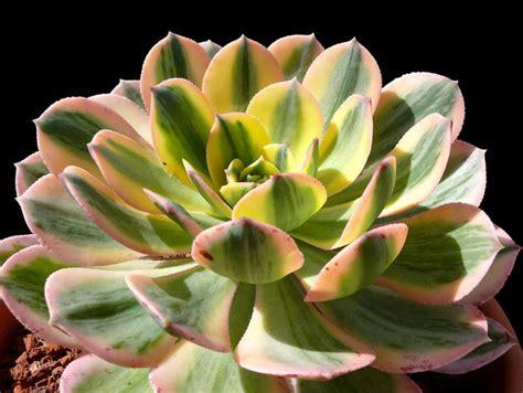 aeonium sunburst cactus jungle