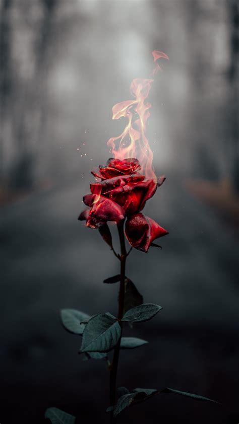 rose flower  wallpaper fire burning dark flowers