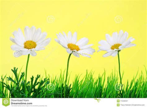 daisies   row stock image image  grass cheerful