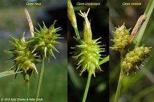 Carex Viridula  Little Green Sedge   Minnesota Wildflowers