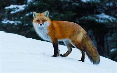 Nature Animals Wildlife Fox Desktop Backgrounds Wallpapers