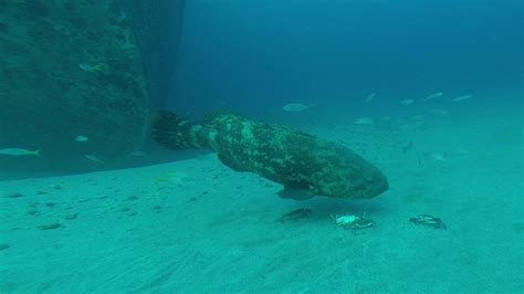 goliath diet grouper spearboard spearfishing crabs research menu edited last