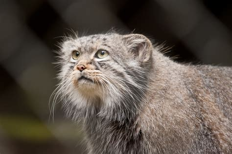 Why The Pallas' Cat Should Become Your New Favorite Animal