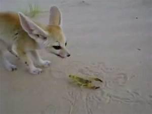Fennec Fox eats a scorpion - YouTube