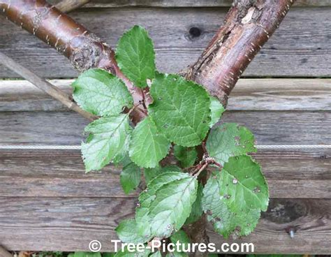 plum tree leaves plum tree pictures images photos facts on plums