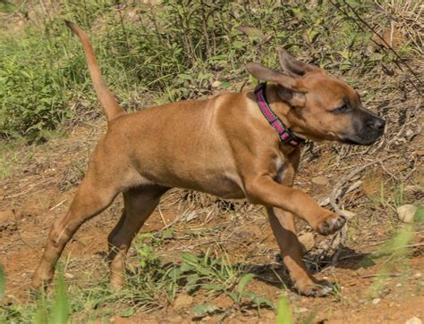 Rhodesian Ridgeback Puppy Shedding by Rhodesian Ridgeback Protective Breed Temperament