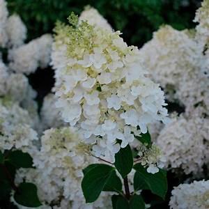 Hydrangea Paniculata Schneiden : rispen hortensie bei der handelt es sich um ein das ~ Lizthompson.info Haus und Dekorationen
