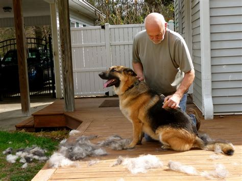 what season do dogs shed the most do german shepherds shed 1001doggy