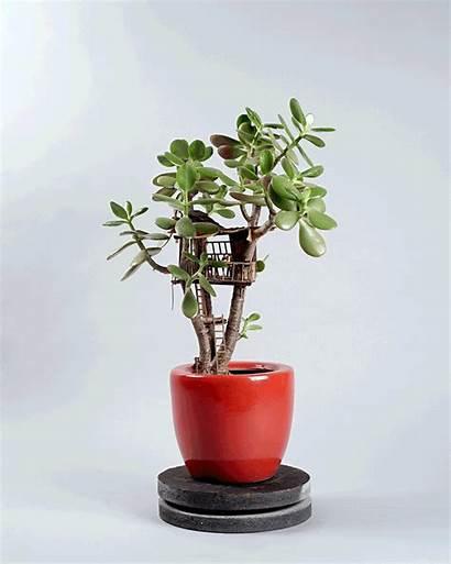 Voltz Corwyn Plants Jedediah Tree Succulent Miniature