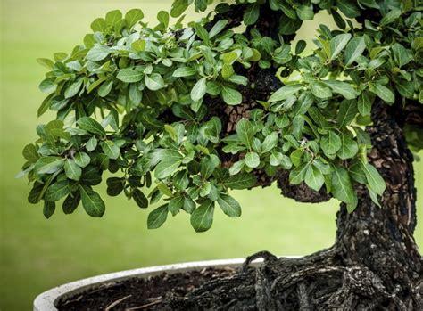 Pflege Bonsai by Bonsai Pflegen Japanische Leidenschaft F 252 R Kleines Geh 246 Lz