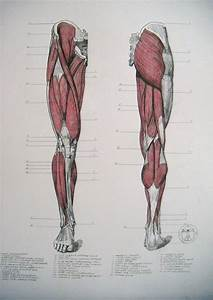 Muscles Of Legs  Front And Back By Reinisgailitis On