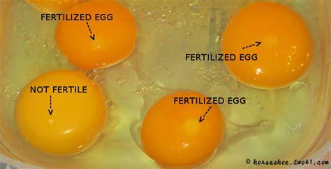how are bird eggs fertilized fertilized egg egg 点力图库
