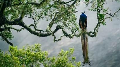 Peacock Indian Birds Trees Resolution 1080p 4k