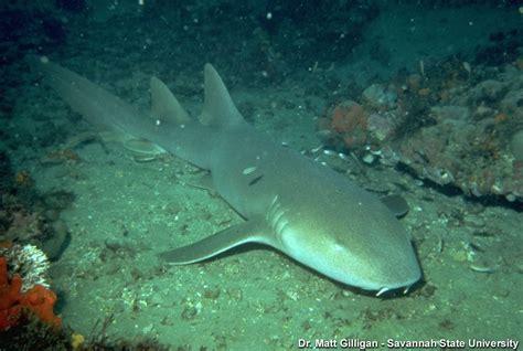 Nurse Sharks (ginglymostoma Cirratum