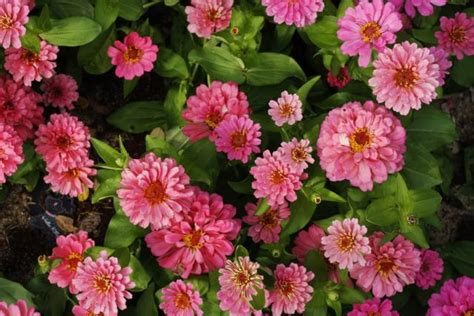 pink annual flowers picsjpg  res p hd