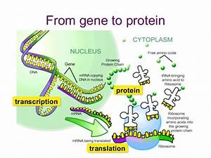 12 3 Dna  Rna  And Protein