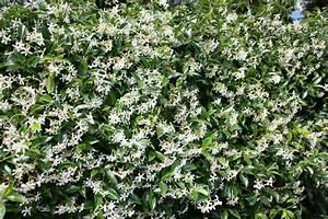 Jasmin Pflanze Winterhart : echter jasmin schneiden wann wie oft und wie ~ Frokenaadalensverden.com Haus und Dekorationen