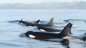 Recovering The Southern Resident Killer Whale With