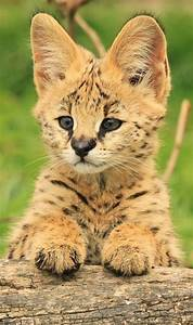 Baby Serval, I think. | Those Lovely Creatures | Pinterest