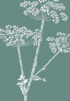 queen annes lace drawing google search flowers