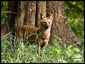 TrekNature | Indian Wild Dog Photo