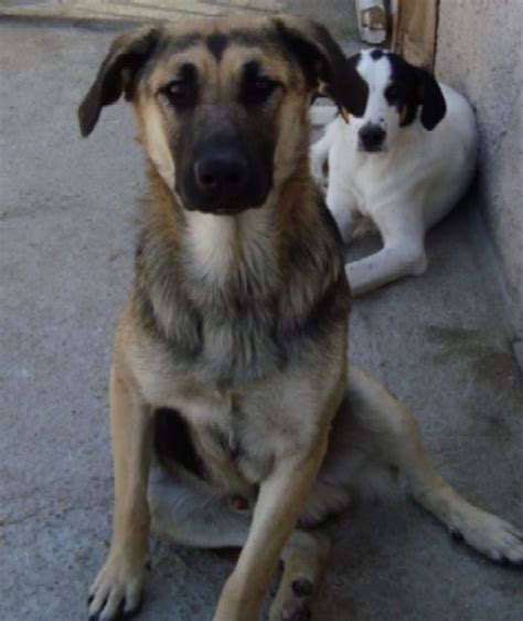 rassehunde schaeferhund kleinanzeigen rassehunde
