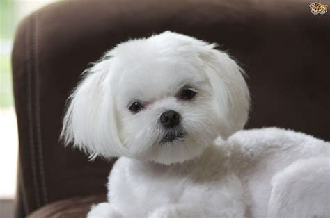 maltese dog breed facts highlights buying advice