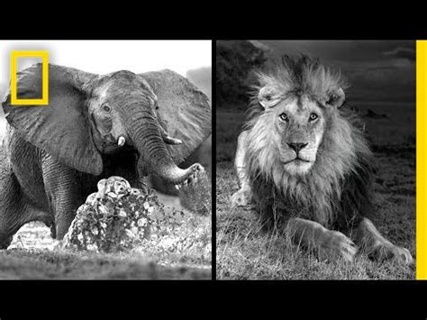 michael v nichols michael nichols photographing africa s wildest beasts