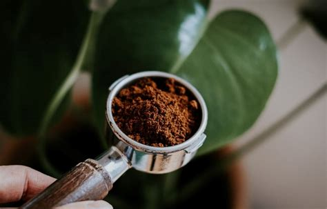 While coffee grounds have not been found to repel or kill pests, they do have some antimicrobial in terms of fertilizing soil, coffee grounds do have significant nitrogen content, which means they can. Coffee grounds in the garden? 6 VITAL FACTS