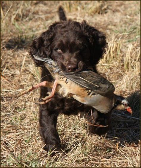 Do Boykin Spaniel Dogs Shed by 25 Best Ideas About Boykin Spaniel On Boykin