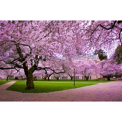 National Cherry Blossom Festival USA – Extreme Spring