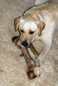 american labrador retriever vs labrador retriever