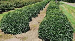haie de jardin moderne 14 topiaire laurier du portugal With haie de jardin moderne