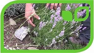 Lavendel Wann Schneiden : lavendel schneiden anleitung und der richtige zeitpunkt ~ Lizthompson.info Haus und Dekorationen
